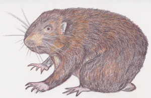 MountainBeaverIllus