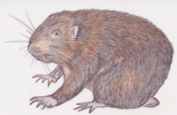 Last rodent standing: the Mountain Beaver